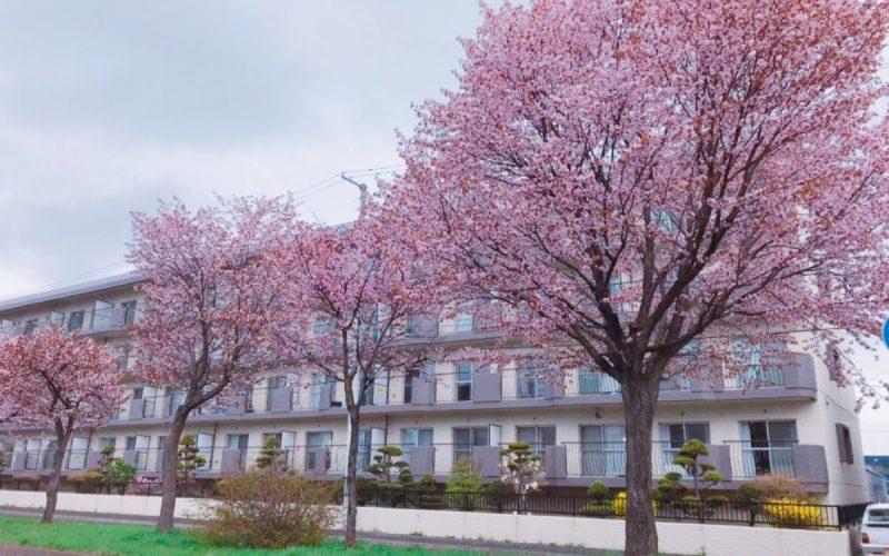 アクアトピア桜